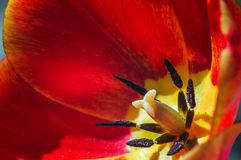 Red tulip close up with blur background. In spring Stock Photo