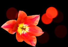 Red tulip close up on a dark background. With red bokeh Royalty Free Stock Photo