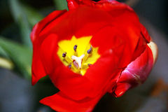 Red tulip close-up. Close-up of a red tulip flower in bloom Stock Photos