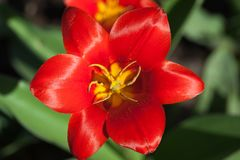 Red tulip close-up in the garden. Flower blossom top view. Close up stock photo