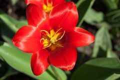 Red tulip close-up in the garden. Flower blossom top view royalty free stock photo