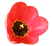 Red tulip. Close-up, isolated on white background Royalty Free Stock Photo