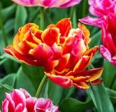 Red tulip close up, Kukenhof, Holland.  Stock Images