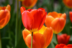 Red Tulip Close Up Stock Photography