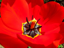Red tulip close up. Close up of part of red tulip flower Stock Image