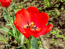 Red tulip close up. Close up of part of red tulip flower Royalty Free Stock Photography