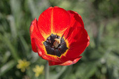 Red tulip close up. Red tulip in the spring close up Stock Photography