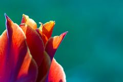 Red tulip close-up on a turquoise background.  Royalty Free Stock Image