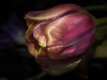 Red tulip close-upRed tulip. Purple tulip close-up on a dark background Royalty Free Stock Photos