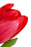 Red tulip closeup Stock Photo
