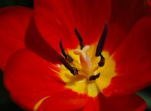 Red Tulip Closeup Royalty Free Stock Photos