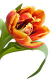 Red tulip closeup. Closeup of red tulip isolated Royalty Free Stock Photos