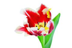 Red tulip closeup stock photo