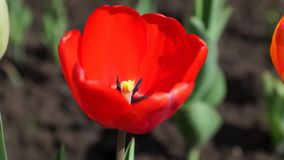 Red tulip. Closeup in the field stock video footage