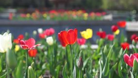 Red tulip stock footage