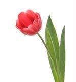 Red tulip closeup. Royalty Free Stock Image