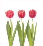 Red tulip closeup. Stock Photos