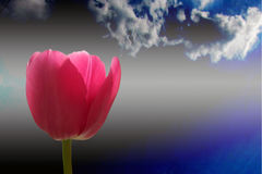 Red tulip and cloud. On background sky stock images