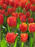 Red Tulip Cluster in Sunlight royalty free stock photo