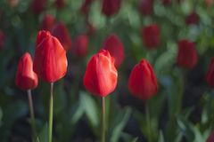 Beautifull red tulip on garden Royalty Free Stock Image