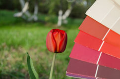 Red tulip compared with color card palette Stock Image