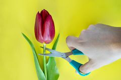 Red tulip cut with sharp scissors. Conceptual photo. Yellow background.  royalty free stock image