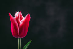 Red tulip on dark background Stock Images