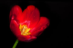 Red tulip detail on black Royalty Free Stock Images