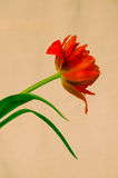 Red tulip. Detail of red tulip image Stock Photo