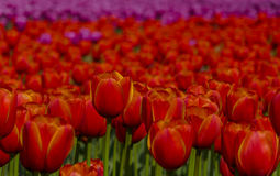Red tulip details Stock Photography