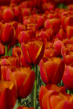 Red tulip details Royalty Free Stock Photos