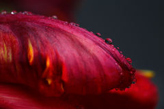 Red Tulip with Dew Stock Photos