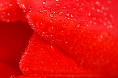 Red tulip with dew drops Royalty Free Stock Photo