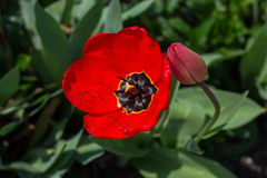 Red tulip with dew drops Royalty Free Stock Image