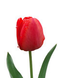 Red tulip in dew on a white background Stock Photo