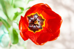Red tulip with drops of water. The background is blurred Stock Photography