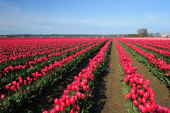 Red tulip farm Stock Photography