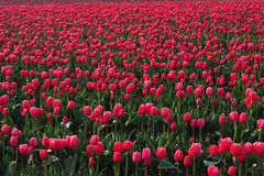 Red tulip farm Stock Photos