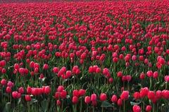 Red tulip farm Stock Photos