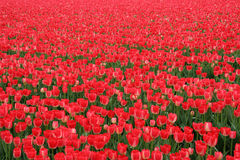 Red tulip field stock images