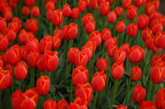 Red tulip field Royalty Free Stock Image