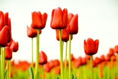 Red Tulip Field Stock Photo