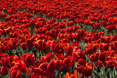 Red Tulip Field. A field of red tulips filling the full frame stock image