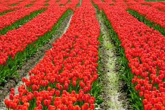 Red tulip field in bc Royalty Free Stock Photos