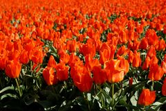 Red tulip field. Blossoming in Netherlands royalty free stock photo