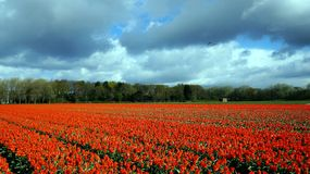 Red tulip field. Blossoming in Netherlands royalty free stock photos