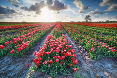 Red tulip field and bright sunshine in spring Stock Image