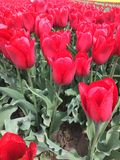 Red tulip field. Close up of red tulips blooming in field on sunny day Royalty Free Stock Photos
