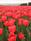 Red tulip field in farm. Field of red tulips on farm on sunny day Royalty Free Stock Photography
