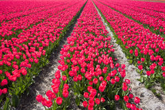 Red Tulip field Royalty Free Stock Images